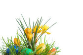 Easter eggs and crocus. — Stock Photo
