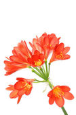 Red amaryllis on white. — Stock Photo