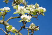 Apple tree blossom. — 图库照片