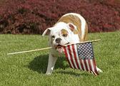 Yankee Doodle Doggie — Stock Photo