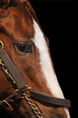 Close Up of Race Horse's Face — Stock Photo