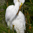 Egret Preening — Stock Photo