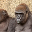 Portrait of Two Gorillas — Stock Photo