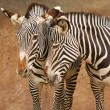 Affectionate Zebras — Stock Photo