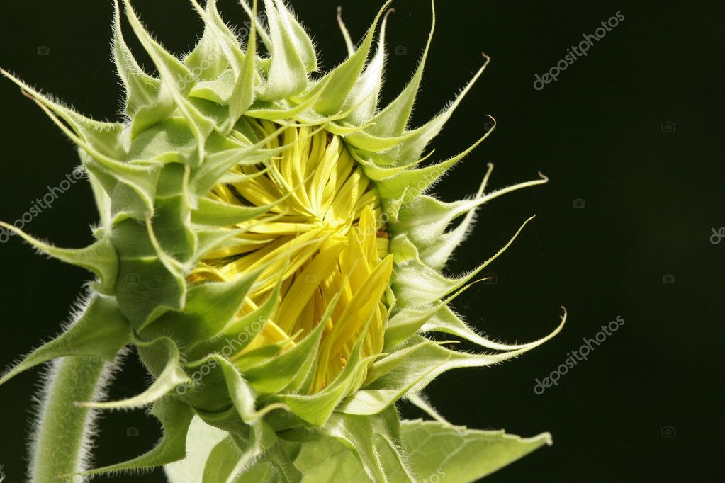 Close up of Sunflower about to burst into bloom. Good for concept of of awaiting summer. — Lizenzfreies Foto #2500350