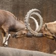 Stock Photo: Wild Goats Fighting