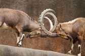 Wild Goats Fighting — Stock Photo