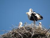 Stork-family — Stock fotografie