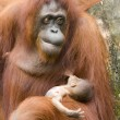 Orang-utan and baby - Stock Photo