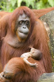 Orang-utan and baby — Stock Photo