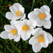 White crocussus — Foto Stock