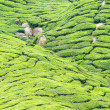 Cameron tea plantation — Stock Photo