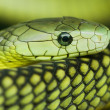 Green mamba — Stock Photo