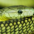 Photo: Green mamba