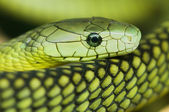 Green mamba — Foto de Stock