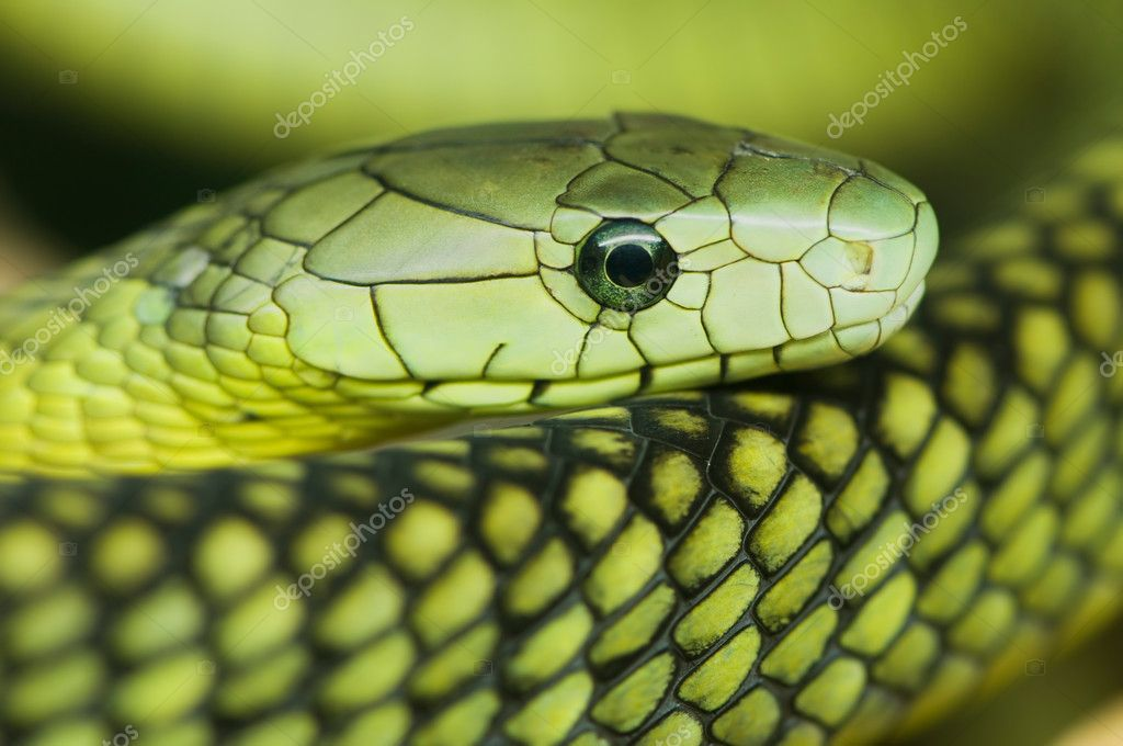 A portrait of an green mamba — Stock Photo #2489939