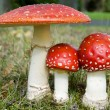 Royalty-Free Stock Photo: Three toadstools