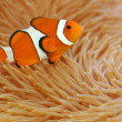 Royalty-Free Stock Photo: Anemonefish
