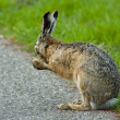 An washing hare - Stockfoto