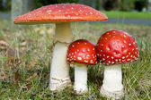 Three toadstools — Stock Photo