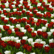 Red and white tulips — Zdjęcie stockowe