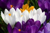 Tri-color crocussus — Stockfoto