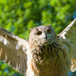 Take-off brown owl — Stock Photo