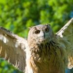 Take-off brown owl — Stock Photo
