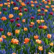 Red orange tulips common grape hyacinth — Stock Photo