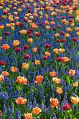Red orange tulips common grape hyacinth — Stok fotoğraf
