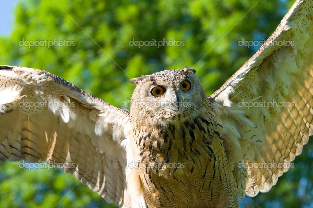 A take-off of an brown owl — Stock Photo #2606592