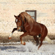 Bay stallion on walk — Stock Photo