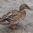 Wild duck (Anas platyrhy) — Stock Photo