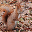 Red squirrel (Sciurus vulgaris) — Stock Photo