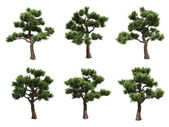 Bonsai pines — Stock Photo