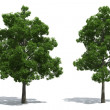 Beech trees - Stock Photo