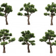 Bonsai pines — Stock Photo