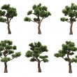 Bonsai pines - Stock Photo