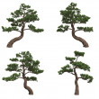 Japan pines - Stock Photo