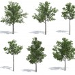 Stock Photo: Linden trees