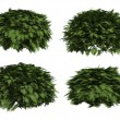 Thuja globosa - Stock Photo
