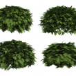 Thuja globosa — Stock Photo