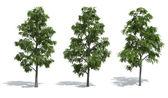 Acacia trees — Stock Photo
