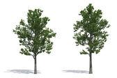 Ash trees — Stock Photo