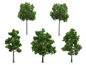 Beech trees — Stock Photo