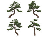 Japan pines — Stock Photo