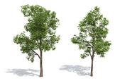 Maple trees — Stock Photo