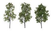 Rowan trees — Stock Photo