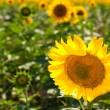 Horizontal photo of a sunflower field. — Stock Photo