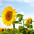 Stock Photo: Sunward Sunflower